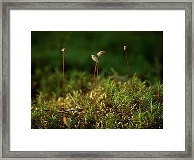 Haircap Moss Framed Print by Jouko Lehto