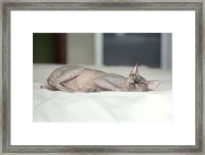 Hairless Sphinx Cat Framed Print