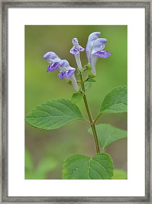 Framed Print featuring the photograph Hairy Skullcap by JD Grimes
