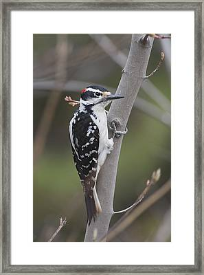 Hairy Woodpecker Picoides Villosus Framed Print by Amy Kay