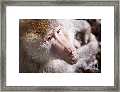 Hamadryas Baboon Framed Print by Andrew  Michael