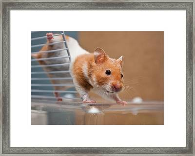 Hamster Framed Print by Tom Gowanlock