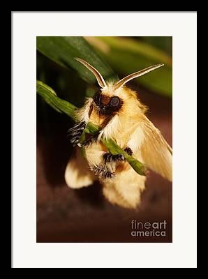 Southern Flannel Moth Framed Prints