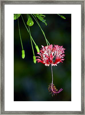 Hanging Coral Hibiscus Framed Print