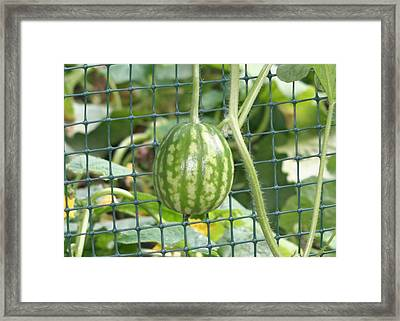Hanging Watermelon Plant Framed Print by Barbara S Nickerson