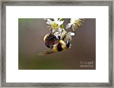 Hanging With The Bumble Bee Framed Print by Mitch Shindelbower