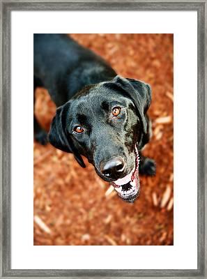 Happy Black Labrador Dog Outside Framed Print by Anna Hoychuk
