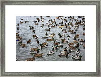 Happy Ducks Framed Print by Carol Groenen