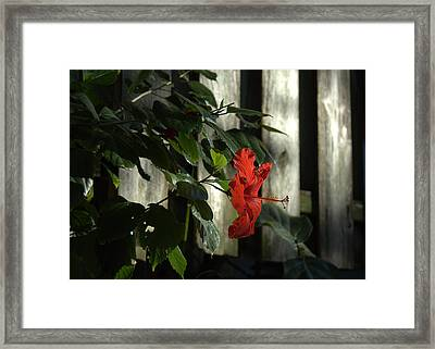 Happy Hibiscus Framed Print by Al Cash