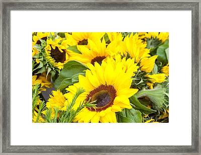 Happy Sunflowers Framed Print by Dina Calvarese