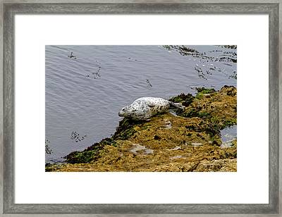 Harbor Seal Taking A Nap Framed Print