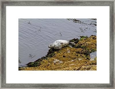 Harbor Seal Taking A Nap Framed Print