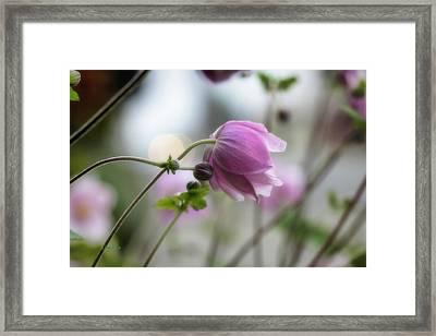 Hardy Grape Leaf Anemone Framed Print by   DonaRose