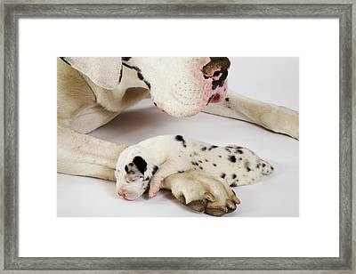 Harlequin Great Dane Puppy Sleeping On Mother's Paw, Studio Shot Framed Print by Martin Harvey