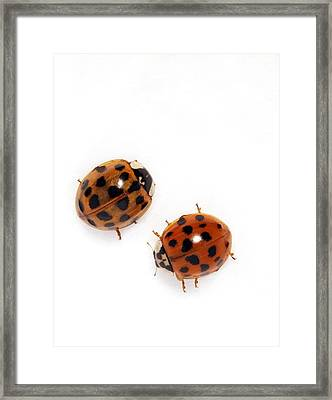 Harlequin Ladybirds Framed Print by Sheila Terry