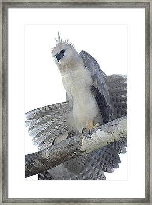 Harpy Eagle Harpia Harpyja Recently Framed Print
