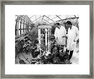 Harvesting Cotton Sprouted In Space Framed Print by Ria Novosti