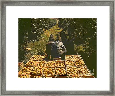 Hauling Crates Of Peaches Framed Print by Padre Art