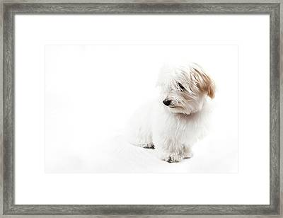 Havanese Puppy Framed Print by Daniel Pupius