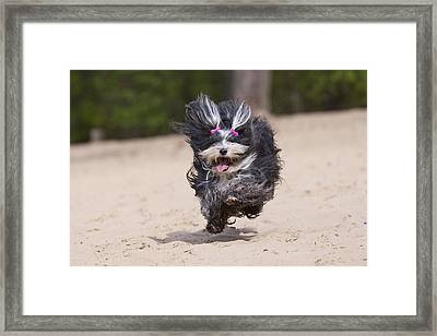 Havaneser Dog Above Sand Framed Print