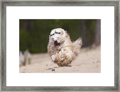 Havaneser Dog, Sandrunner Framed Print