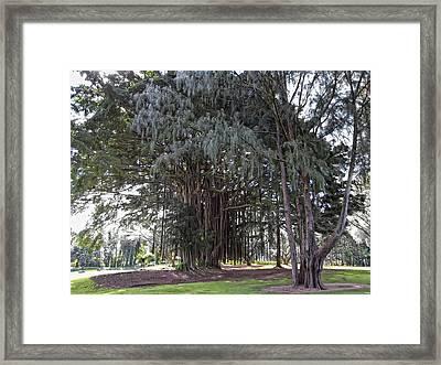 Hawaiian Banyan Tree Framed Print by Daniel Hagerman