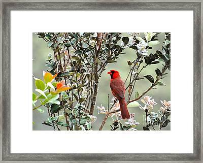Hawaiian Cardinal  Framed Print