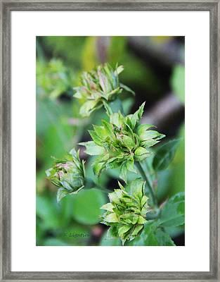 Hawaiian Green Rose - Rosa Chinensis Viridiflora Framed Print by Kerri Ligatich