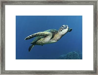 Hawaiian Green Sea Turtle Framed Print