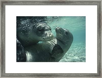 Hawaiian Monk Seals Framed Print by Flip Nicklin