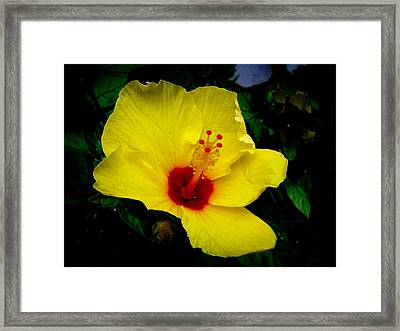 Hawaiian Yellow Hibiscus Framed Print by Athena Mckinzie
