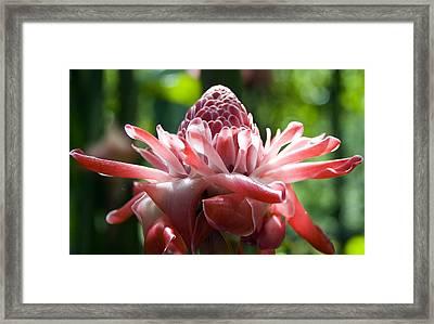 Hawiian Mystery Flower Framed Print by Chris Ann Wiggins