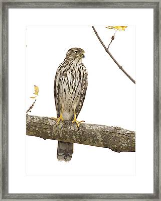 Hawk 4 Framed Print
