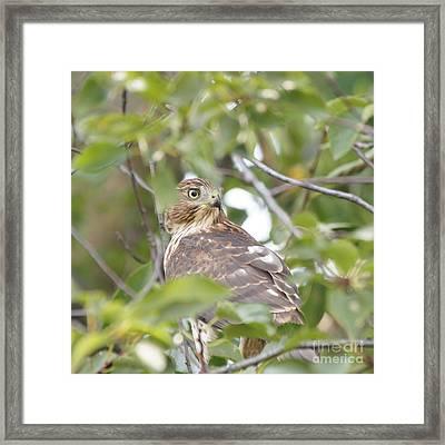 Hawk 9727-1 Framed Print