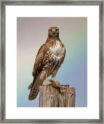 Hawk And Rainbow Framed Print