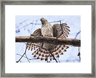 Hawk Antics Framed Print by Bonnie Barry