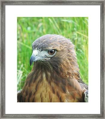 Hawk-eye Framed Print by Todd Sherlock