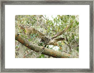 Hawk In Flight Framed Print by Theresa Willingham