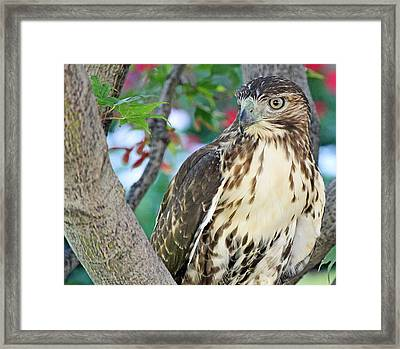 Hawk In Tree 3 Framed Print by Becky Lodes