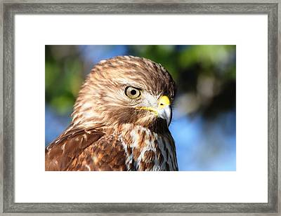 Framed Print featuring the photograph Hawk In Viera Florida by Jeanne Andrews