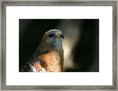 Framed Print featuring the photograph Hawk by Jeanne Andrews