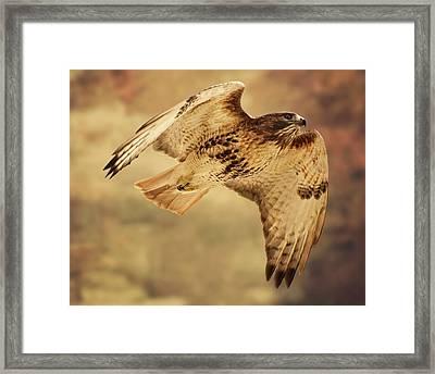 Hawk Framed Print by Jody Trappe Photography