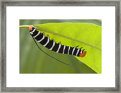 Hawk Moth Caterpillar Guyana Framed Print by Piotr Naskrecki