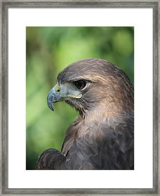 Hawk Profile Framed Print by Alexander Spahn