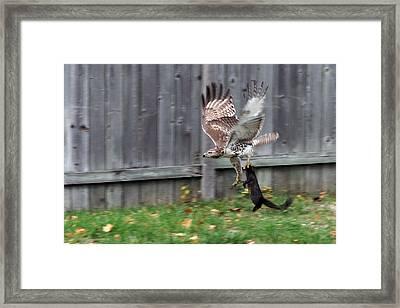 Hawk The Hunter Framed Print