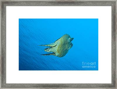 Hawksbill Turtle In The Diving Framed Print