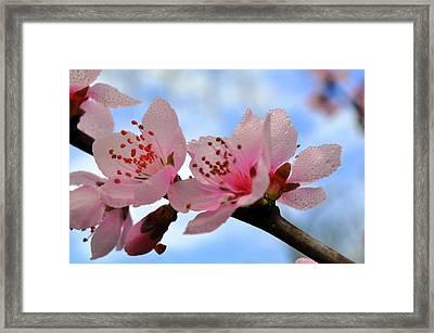 Hawthorne Bloom Framed Print by Marty Koch
