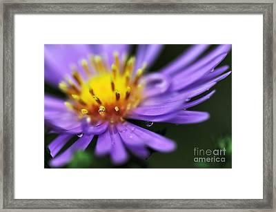 Hazy Daisy... With Droplets Framed Print by Kaye Menner