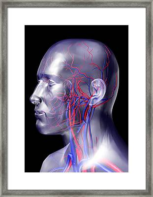 Head Blood Vessels Framed Print
