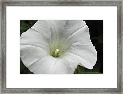 Framed Print featuring the photograph Hedge Morning Glory by Tikvah's Hope
